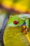 Εξωτικός βάτραχος, ζωηρό θέμα ζουγκλών στοκ εικόνα με δικαίωμα ελεύθερης χρήσης