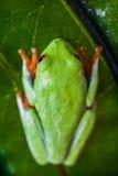 Εξωτικός βάτραχος, ζωηρό θέμα ζουγκλών στοκ εικόνα