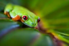 Εξωτικός βάτραχος, ζωηρό θέμα ζουγκλών στοκ φωτογραφίες