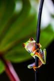 Εξωτικός βάτραχος στο τροπικό δάσος στοκ φωτογραφία με δικαίωμα ελεύθερης χρήσης