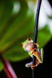 Εξωτικός βάτραχος στο τροπικό δάσος στοκ εικόνα με δικαίωμα ελεύθερης χρήσης