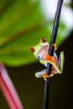 Εξωτικός βάτραχος στο τροπικό δάσος στοκ εικόνα