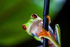 Εξωτικός βάτραχος στο τροπικό δάσος στοκ φωτογραφία