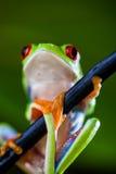 Εξωτικός βάτραχος στο τροπικό δάσος στοκ εικόνες
