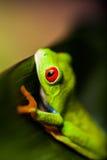 Εξωτικός βάτραχος στο φυσικό τροπικό δάσος στοκ εικόνα με δικαίωμα ελεύθερης χρήσης