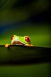 Εξωτικός βάτραχος στο φυσικό τροπικό δάσος στοκ εικόνες