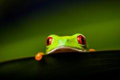 Εξωτικός βάτραχος στο φυσικό τροπικό δάσος στοκ φωτογραφία