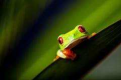 Εξωτικός βάτραχος στο φυσικό τροπικό δάσος στοκ εικόνα
