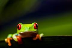 Εξωτικός βάτραχος στο φυσικό τροπικό δάσος στοκ φωτογραφίες