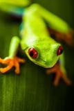 Εξωτικός βάτραχος στο φυσικό τροπικό δάσος στοκ φωτογραφία με δικαίωμα ελεύθερης χρήσης