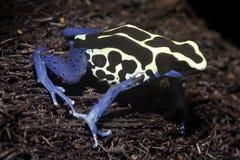 εξωτικός βάτραχος στοκ φωτογραφία