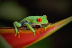 Εξωτικός ζωικός, κόκκινος-eyed βάτραχος δέντρων, callidryas Agalychnis, ζώο με τα μεγάλα κόκκινα μάτια, στο βιότοπο φύσης, Κόστα  στοκ εικόνα με δικαίωμα ελεύθερης χρήσης
