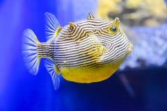 Εξωτικός κίτρινος άσπρος ριγωτός ψαριών με μια πορτοκαλιά ουρά κάτω από το νερό σε ένα ενυδρείο στοκ φωτογραφία με δικαίωμα ελεύθερης χρήσης
