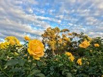 Εξωτικός κίτρινος αυξήθηκε στο πάρκο BALBOA στοκ εικόνα με δικαίωμα ελεύθερης χρήσης