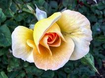 Εξωτικός κίτρινος αυξήθηκε στο πάρκο BALBOA στοκ φωτογραφίες με δικαίωμα ελεύθερης χρήσης