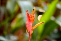 Εξωτικός κόκκινος παράδεισος οφθαλμών λουλουδιών reginae Strelitzia στοκ φωτογραφίες