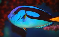 Εξωτικός μπλε σημαία ή χειρούργος ψαριών (lat Hepatus Paracanthurus) Στοκ Εικόνα