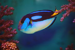 Εξωτικός μπλε σημαία ή χειρούργος ψαριών (lat Hepatus Paracanthurus) Στοκ φωτογραφία με δικαίωμα ελεύθερης χρήσης