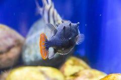 Εξωτικός σκούρο μπλε ριγωτός ψαριών με μια πορτοκαλιά ουρά κάτω από το νερό σε ένα ενυδρείο στοκ εικόνα