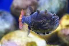 Εξωτικός σκούρο μπλε ριγωτός ψαριών με μια πορτοκαλιά ουρά κάτω από το νερό σε ένα ενυδρείο στοκ εικόνα με δικαίωμα ελεύθερης χρήσης