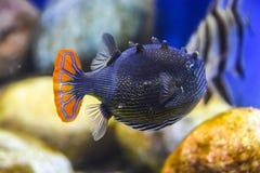 Εξωτικός σκούρο μπλε ριγωτός ψαριών με μια πορτοκαλιά ουρά κάτω από το νερό σε ένα ενυδρείο στοκ φωτογραφία με δικαίωμα ελεύθερης χρήσης