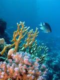 εξωτικός σκόπελος ψαριών κοραλλιών Στοκ Εικόνα