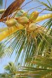 εξωτικός φοίνικας καρύδων στοκ εικόνα με δικαίωμα ελεύθερης χρήσης
