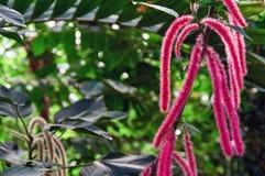 Εξωτικός bristly-τριχωτός αλωπεκούρος Acalypha λουλουδιών σε ένα κλίμα του σκοτεινού τροπικού φυλλώματος στη ζούγκλα στοκ φωτογραφία με δικαίωμα ελεύθερης χρήσης