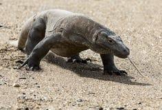 Εξωτικό ζώο δράκων της Ινδονησίας νησιών Komodo Στοκ Εικόνες