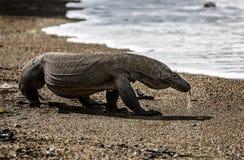 Εξωτικό ζώο δράκων της Ινδονησίας νησιών Komodo Στοκ εικόνα με δικαίωμα ελεύθερης χρήσης