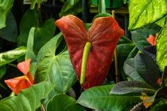Εξωτικό λουλούδι Anthurium Στοκ Εικόνα