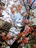 Εξωτικό πλαίσιο του χαρωπού δέντρου και των ρόδινων ανθών ενάντια στους ουρανοξύστες στοκ εικόνα με δικαίωμα ελεύθερης χρήσης
