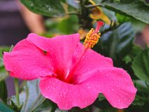 Εξωτικό τροπικό ρόδινο Hibiscus άνθος στοκ εικόνες με δικαίωμα ελεύθερης χρήσης