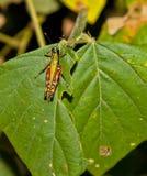 εξωτικό grasshopper Στοκ φωτογραφία με δικαίωμα ελεύθερης χρήσης