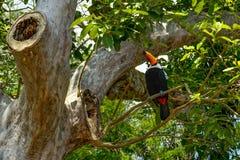 Εξωτικό toucan πουλί στη φυσική ρύθμιση κοντά στις πτώσεις Iguazu Foz δ Στοκ φωτογραφίες με δικαίωμα ελεύθερης χρήσης