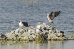 Εξόγκωμα-τιμολογημένο πουλί παπιών Στοκ Εικόνες