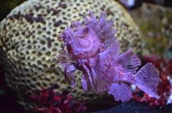 Εξόφθαλμος σκορπιός που κολυμπά το υποβρύχιο κοντινό κοράλλι στοκ εικόνες