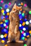 Εορταστική κόκκινη γάτα στοκ φωτογραφία με δικαίωμα ελεύθερης χρήσης