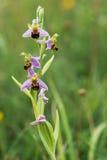 Επάνθιση ορχιδεών μελισσών (apifera Ophrys) Στοκ φωτογραφία με δικαίωμα ελεύθερης χρήσης