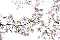 Επάνθιση του ρόδινου magnolia Στοκ εικόνα με δικαίωμα ελεύθερης χρήσης