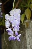 Επάνθιση του wisteria Στοκ φωτογραφίες με δικαίωμα ελεύθερης χρήσης