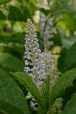 Επάνθιση των άσπρων μικρών λουλουδιών στα πλαίσια των πράσινων φύλλων Στοκ εικόνες με δικαίωμα ελεύθερης χρήσης
