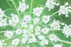 Επάνθιση των άσπρων λουλουδιών Στοκ Φωτογραφίες