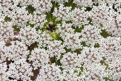 Επάνθιση των άσπρων λουλουδιών Στοκ Εικόνα