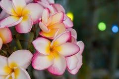 Επάνθιση των πολυ ρόδινων άσπρων κίτρινων plumerias χρώματος Στοκ Εικόνες