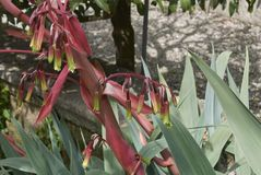 Επάνθιση Beschorneria yuccoides Στοκ φωτογραφία με δικαίωμα ελεύθερης χρήσης