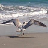επάνω από τα σκοτεινά πετώντας ωκεάνια ανοικτά seagull πουλιών φτερά Στοκ φωτογραφία με δικαίωμα ελεύθερης χρήσης