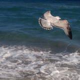 επάνω από τα σκοτεινά πετώντας ωκεάνια ανοικτά seagull πουλιών φτερά Στοκ φωτογραφίες με δικαίωμα ελεύθερης χρήσης