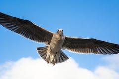 επάνω από τα σκοτεινά πετώντας ωκεάνια ανοικτά seagull πουλιών φτερά Στοκ Φωτογραφία