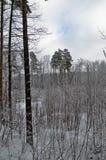 επάνω από το δασικό βλασταημένο τοπίο χειμώνα δέντρων χιονιού Στοκ Εικόνα